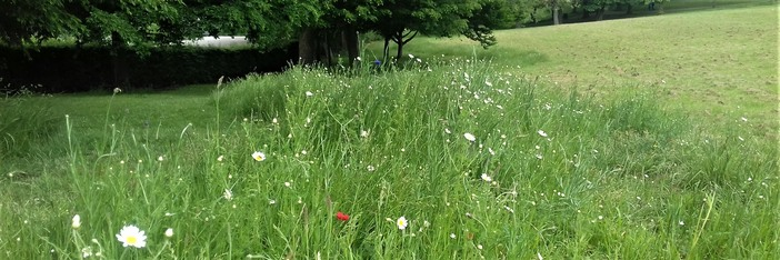 Wild flower area in Locke Park created by volunteers by seeding rotavated area of grassland