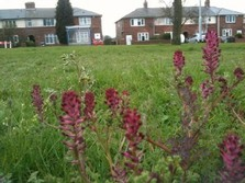 Flowers from plugs planted in amenity grassland